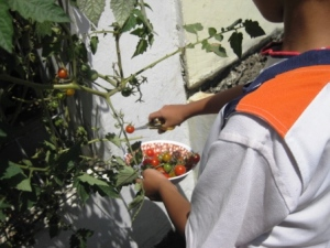 panen tomat di pagar Budhe, tetangga yang baik hati seperti nenek sendiri